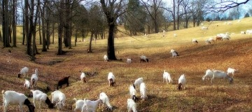 We love goats uses goats to trim your grass. Pic by Mike_tn