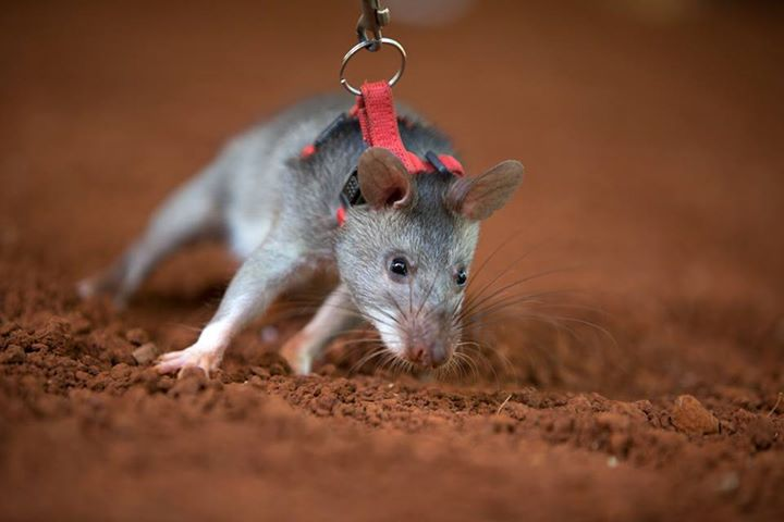 Rats can be trained to detect disease